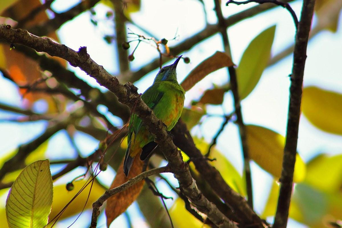 female Orange Bellied Leafbird