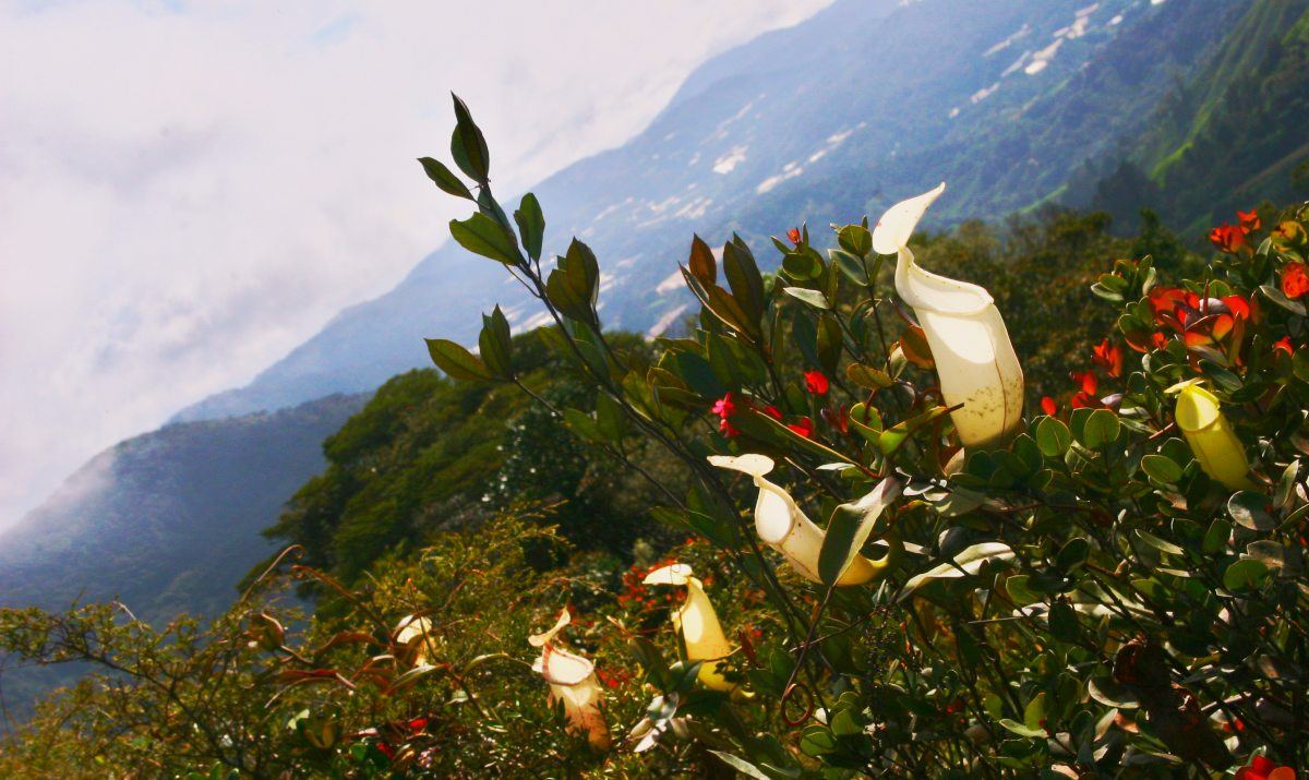 Pitcher Plants With A View On Gunung Brinchang